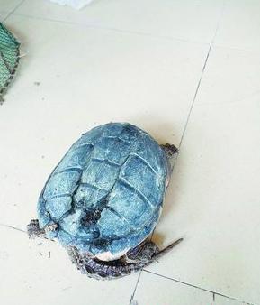 刘先生发现的鳄龟。(林业人员供图)