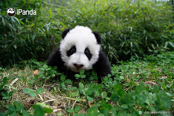 """(大熊猫""""和和"""")"""