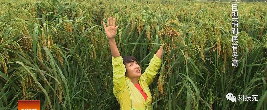 身高两米,水稻中的