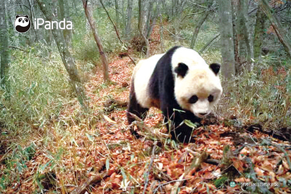 保护区内的大熊猫
