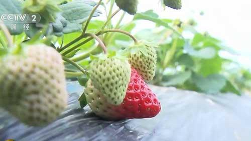 采草莓摘柑橘 乡村文化旅游节上好热闹