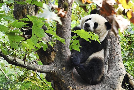 """大熊猫国家公园(四川园区)内憨态可掬的""""国宝""""。视觉中国 资料"""