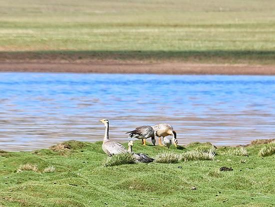 青海三江源国家公园内的斑头雁。视觉中国 资料图