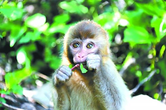 在河南济源太行山猕猴货架自然保护区生活的猕猴宝宝。光明图片/视觉中国