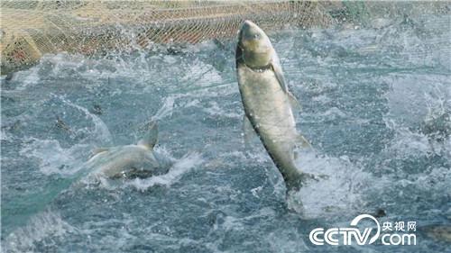 致富经:集体失踪的鱼 一年带回3000万元 1月2日