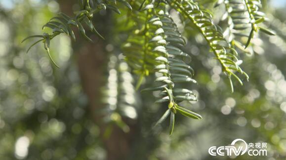 """绿色时空:香榧树成了发财""""香饽饽"""" 1月6日"""