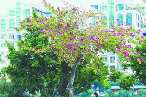 昨日,湖滨北路的洋紫荆开花,枝繁叶茂,花色鲜艳,为道路披上紫红色的盛装。