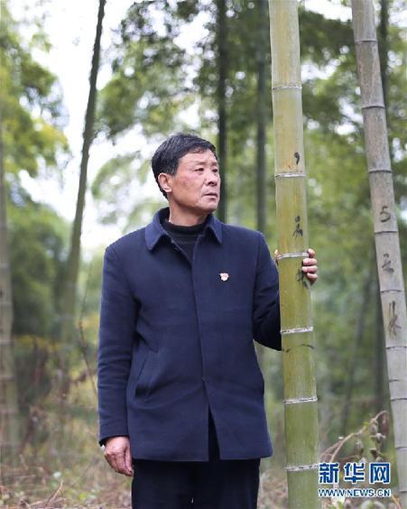 鲍新民在查看竹林的生长状况(2018年12月21日摄)。新华社发