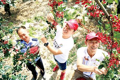 四川茂縣組織150余名駐村工作隊員幫助貧困戶采摘花椒。