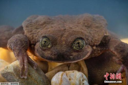 """""""世界最孤独""""青蛙有望脱单而有些物种,灭绝了"""