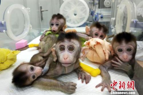 中国科学家通过体细胞克隆技术,获得5只BMAL1基因敲除的克隆猴。 中科院神经科学研究所 摄