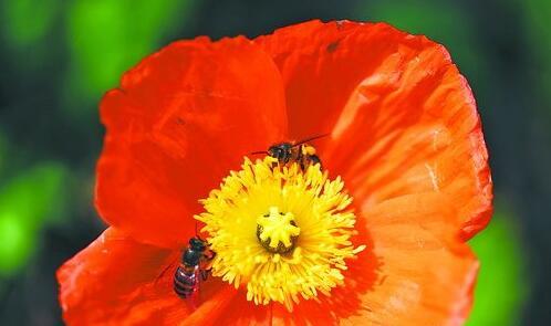 天气温暖,蜜蜂忙着采蜜。