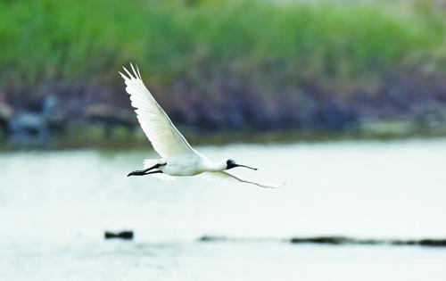 黑脸琵鹭展翅飞翔。