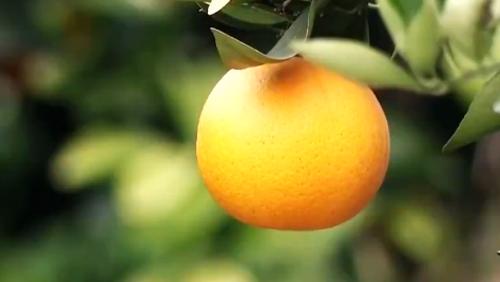 湖北秭归:脐橙果香飘万家