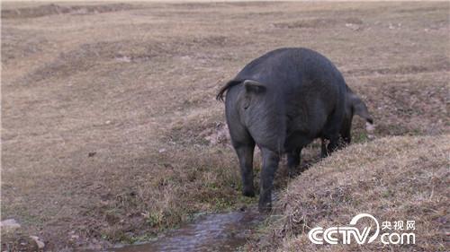 [致富经]六畜兴旺贺新春 变着花样巧来财 20190211