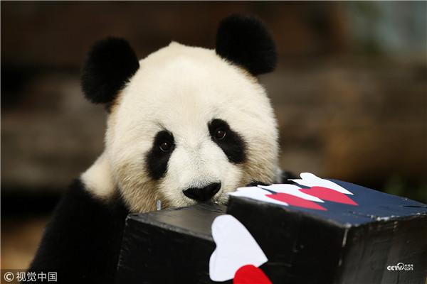 """大熊猫""""福妮"""""""