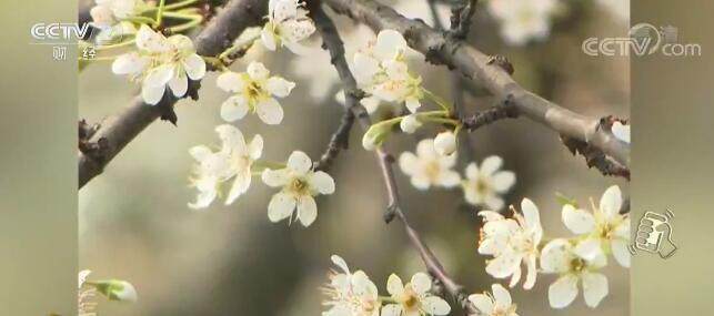 花开如雪,一枝枝,一撮撮洁白的李花点亮了整个山头.