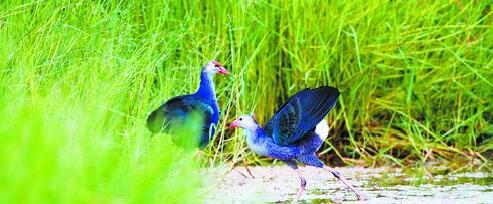 紫水鸡现身园博苑。