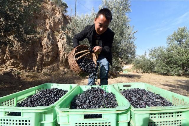 在甘肃省陇南市武都区汉王镇,一名男子将采摘的油橄榄倒入收纳箱(2018年10月30日摄)。