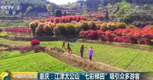"""重庆:江津太公山""""七彩梯田""""吸引众多游客"""