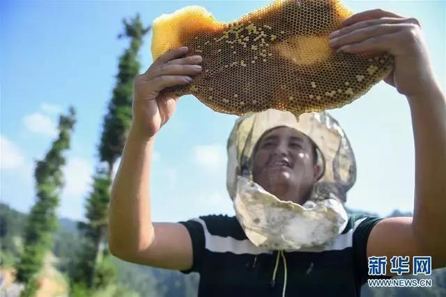 32岁的龙先兰在湖南省十八洞村一处蜜源点查看蜂巢(2019年9月4日摄)。一度贫困的十八洞村人龙先兰在精准脱贫工作队的帮助下,学习养蜂技术,发展养蜂产业,逐渐成为养蜂大户,带动118户养蜂户脱贫致富。新华社记者 陈泽国 摄