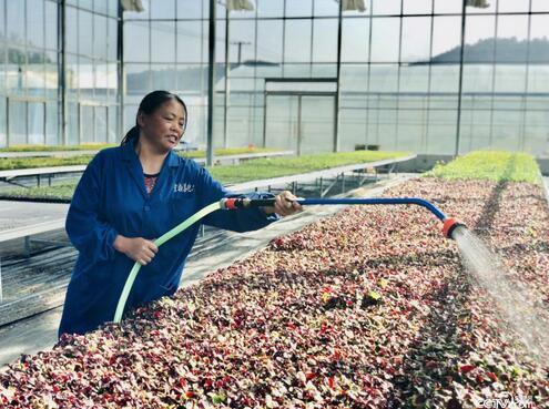技术员正在给大棚蔬菜里的种苗进行浇水作业。