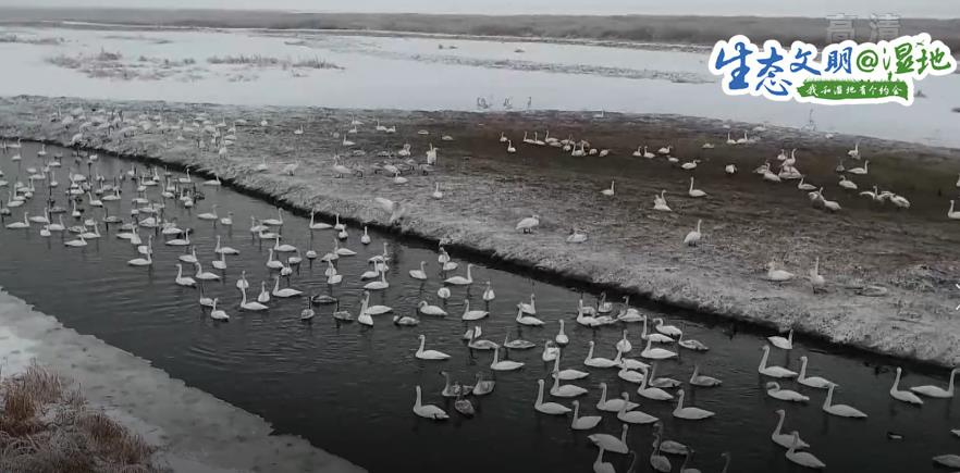 """【生态文明@湿地】新疆湿地水系增加 迎来""""稀客"""