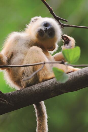 川金丝猴-陕西佛坪国家级自然掩护区(摄影 刘思阳)