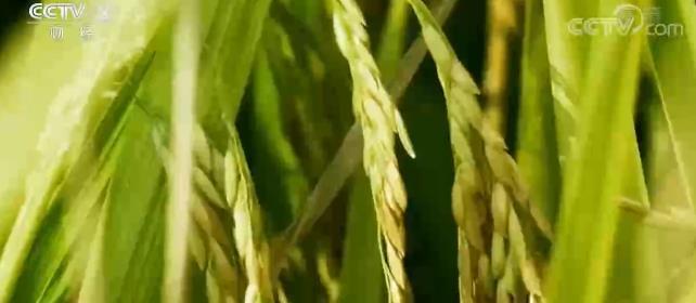 """""""海水稻""""一飞冲天 万亿级产业蓝图浮现"""