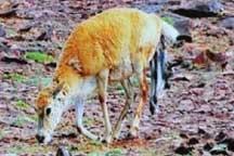 Exclusive: Footage of birth giving progress of Tibetan antelope captured