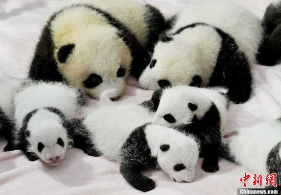 Newly Born Baby Newly Born Panda Cubs Debut to