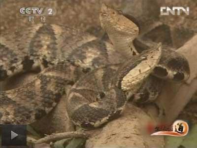 杨文彩剧毒蛇养殖生财有道,老杨的五步蛇人生