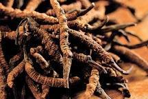 Tibet´s caterpillar fungus gold rush