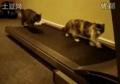 跑步机上的猫咪 超搞笑 超可爱