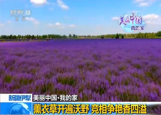 【美丽中国·我的家】新疆伊犁:薰衣草开遍沃野 竞相争艳香四溢