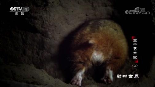 [动物世界]呆呆萌萌小仓鼠!为躲避猎手在半夜活动