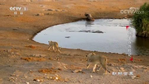 [动物世界]死亡挑战!大犀牛陷入水坑遭受威胁