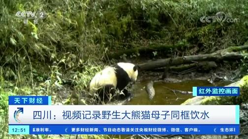 [天下财经]四川:视频记录野生大熊猫母子同框饮水