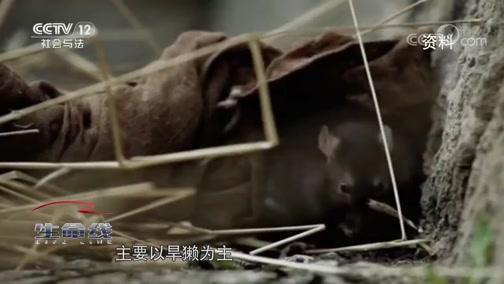 [生命线]鼠疫的危害和控制