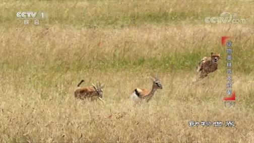[动物世界]这一场速度与耐力的竞赛 猎豹能否成功捕获羚羊