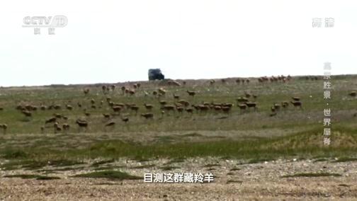 [地理·中国]藏羚羊来到可可西里的卓乃湖集结产崽