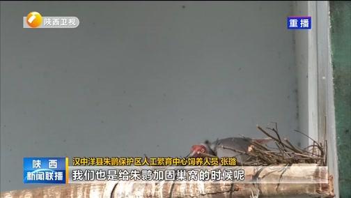 [陕西新闻联播]汉中洋县人工饲养朱产下新年第一枚卵
