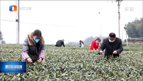 [重庆新闻联播]重庆春茶进入采收旺季 产量产值有望双双增长