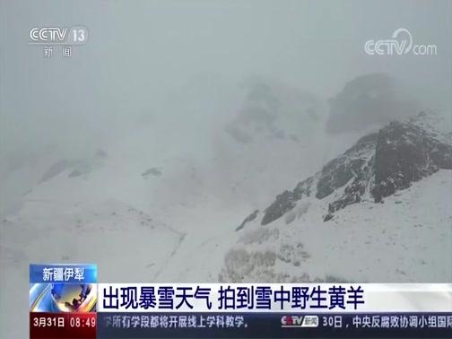 [朝闻天下]新疆伊犁 出现暴雪天气 拍到雪中野生黄羊