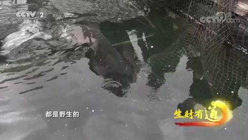 [生财有道]你见过一米长的大鱼吗?个头大 牙锋利 攻击能力还强