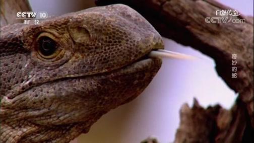 [自然传奇]蛇由至少一亿年前的史前蜥蜴进化而来