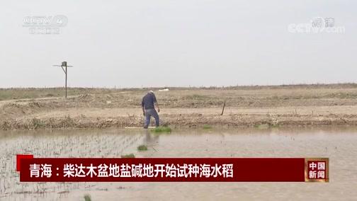 [中国新闻]青海:柴达木盆地盐碱地开始试种海水稻