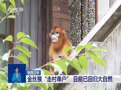 """[共同关注]陕西汉中 金丝猴""""走村串户"""" 目前已回归大自然"""