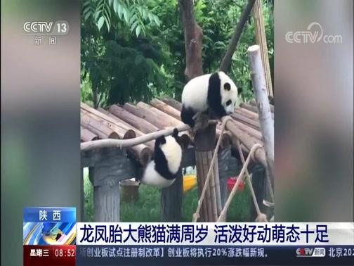 [朝闻天下]陕西 龙凤胎大熊猫满周岁 活泼好动萌态十足