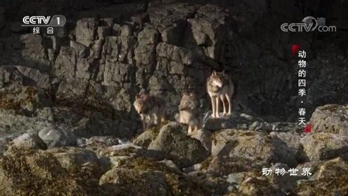 [动物世界]海洋专家、游泳健将海狼